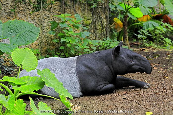 Malayan Tapir (Tapirus indicus), native to Asia