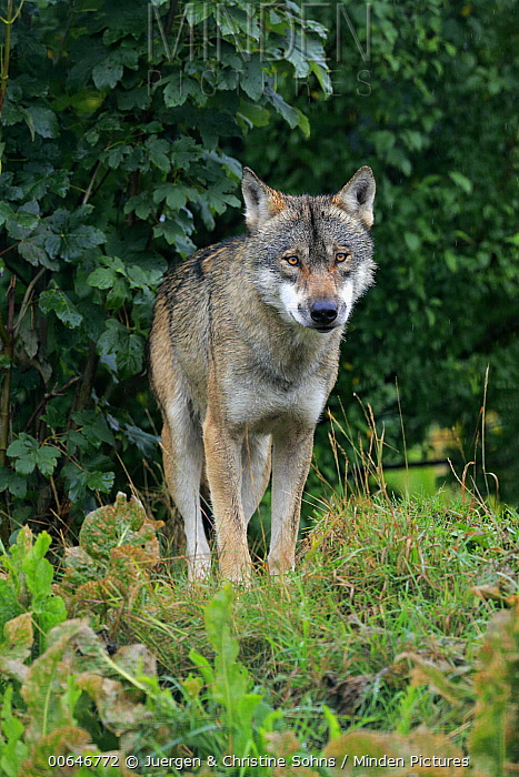Wolf (Canis lupus), native in northern hemisphere