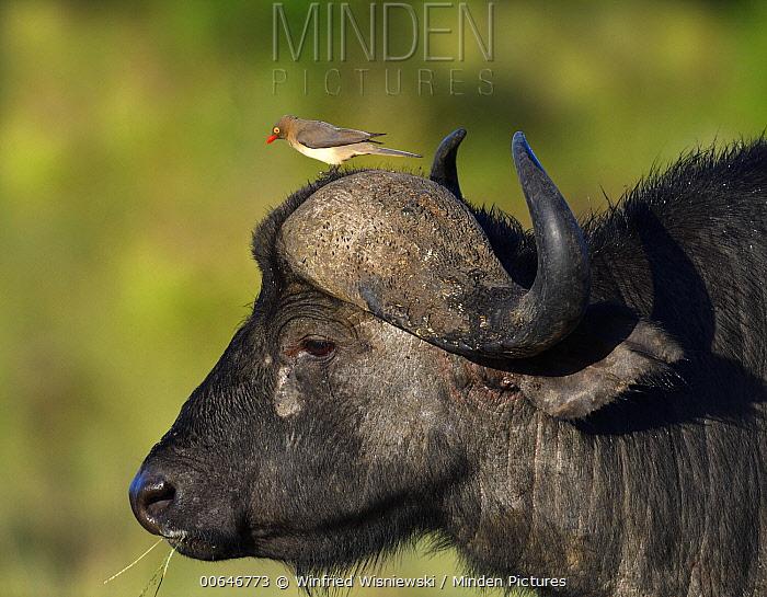 Cape Buffalo (Syncerus caffer) and Red-billed Oxpecker (Buphagus erythrorhynchus), Masai Mara, Kenya