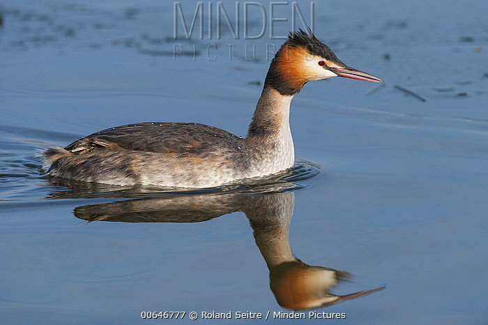 Great Crested Grebe (Podiceps cristatus), France