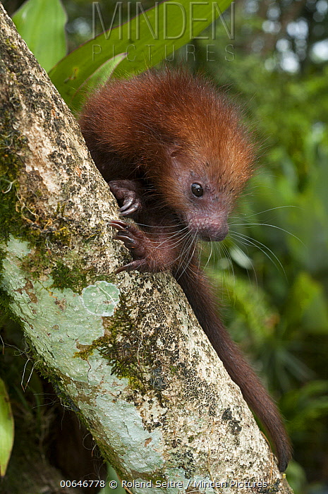 Rothschild's Porcupine (Coendou rothschildi), native to Panama