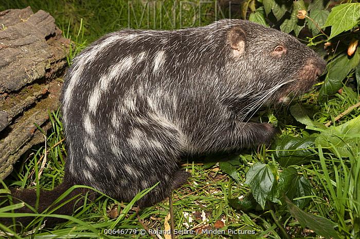 Branick's Giant Rat (Dinomys branickii), Colombia