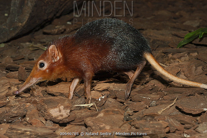 Black-and-rufous Elephant Shrew (Rhynchocyon petersi), native to Africa