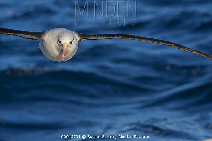 Black-browed Albatross (Thalassarche melanophrys) flying, New South Wales, Australia