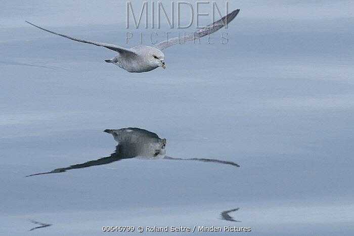 Northern Fulmar (Fulmarus glacialis) flying, Norway