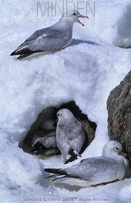 Southern Fulmar (Fulmarus glacialoides) group, Antarctica