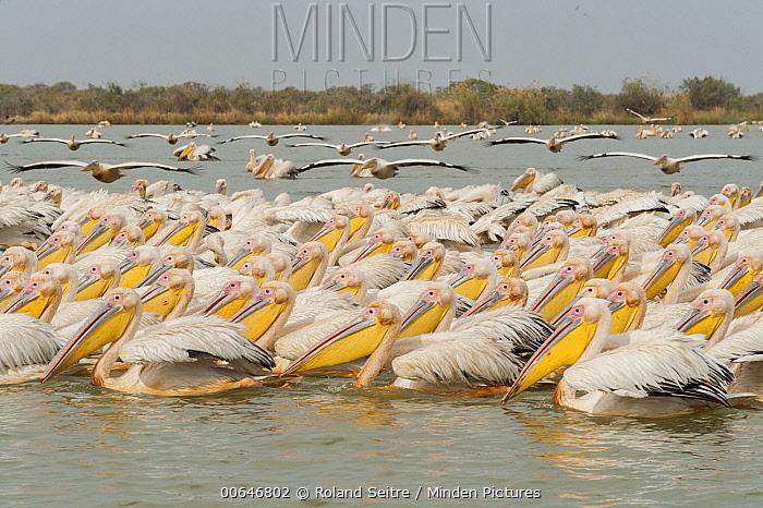 Great White Pelican (Pelecanus onocrotalus) flock, Djoudj National Bird Sanctuary, Senegal