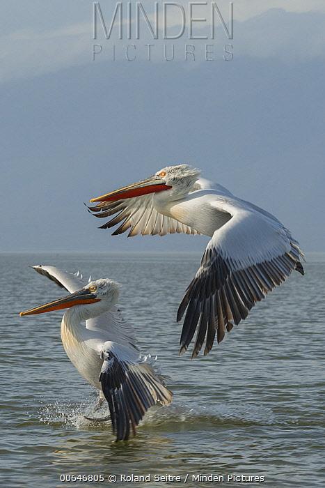 Dalmatian Pelican (Pelecanus crispus) pair flying, Greece