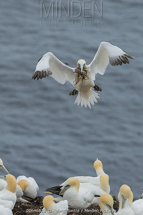 Northern Gannet (Morus bassanus) carrying nesting material to colony, Quebec, Canada