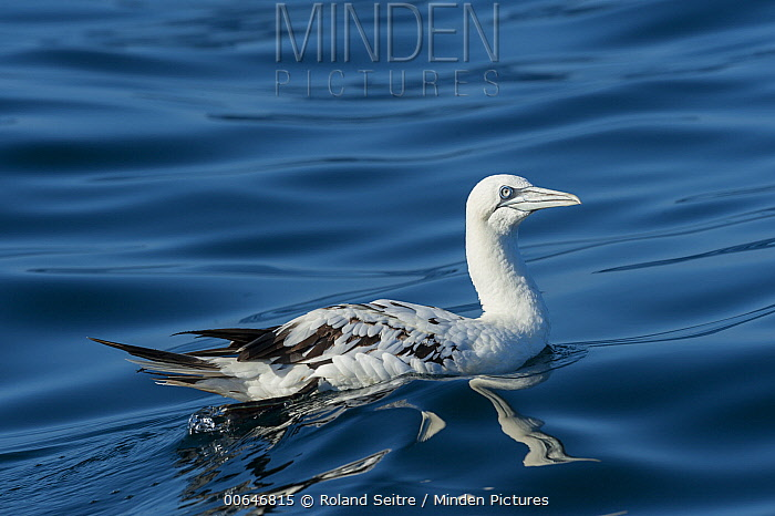 Northern Gannet (Morus bassanus), Berlengas Islands, Portugal