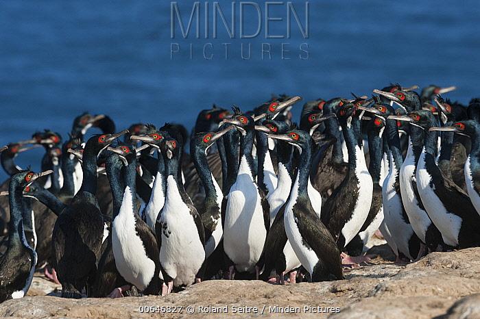 Guanay Cormorant (Phalacrocorax bougainvillii) flock, Guanape Islands, Peru