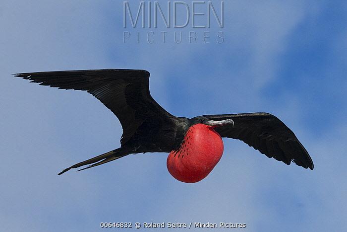 Magnificent Frigatebird (Fregata magnificens) male flying, Antigua, Caribbean