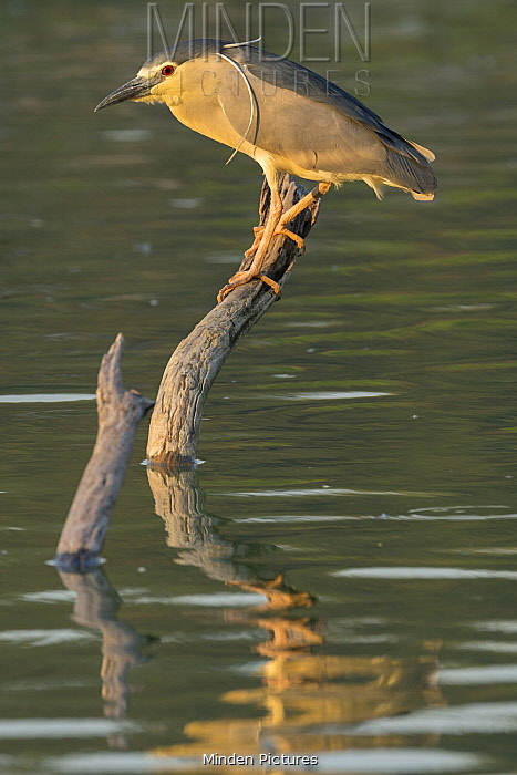 Black-crowned Night Heron (Nycticorax nycticorax), Madagascar