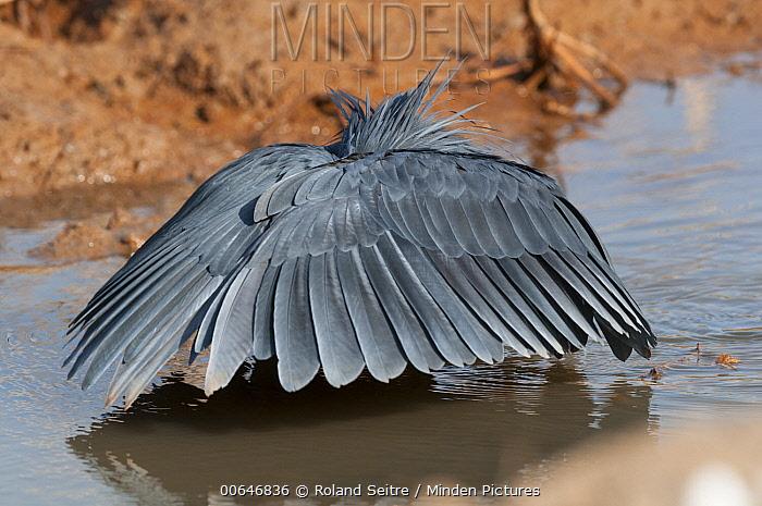Black Heron (Egretta ardesiaca) hunting by creating shade with its wings, Abuko Nature Reserve, Gambia