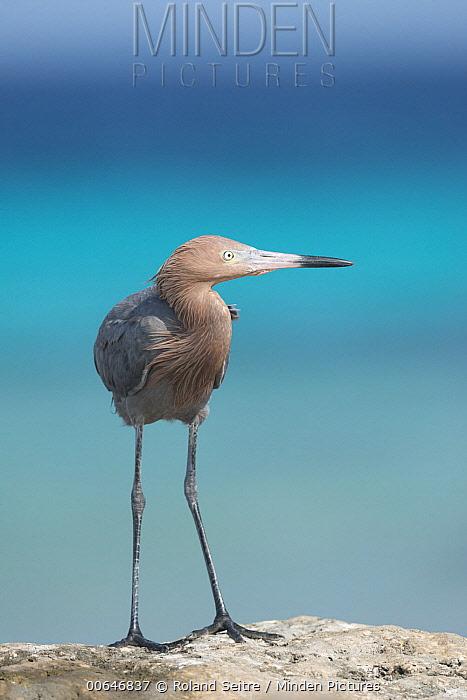 Reddish Egret (Egretta rufescens), Bonaire, Caribbean