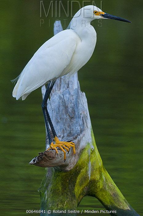 Snowy Egret (Egretta thula), Sint Marteen, Caribbean