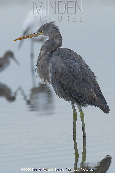Western Reef-Egret (Egretta gularis) and two other waders, Oman