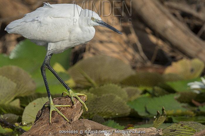 Little Egret (Egretta garzetta), Oman