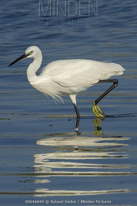 Little Egret (Egretta garzetta) wading, Oman