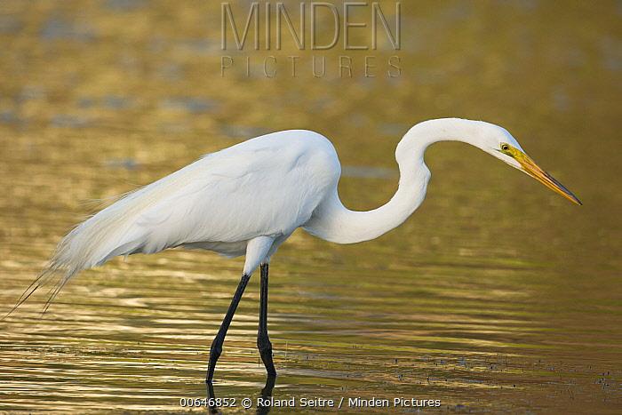 Great Egret (Ardea alba) foraging, Sint Marteen, Caribbean