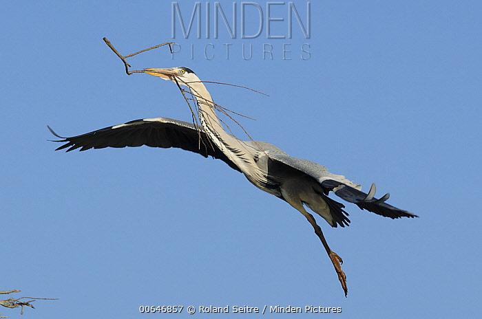 Grey Heron (Ardea cinerea) carrying nesting material, Camargue, France