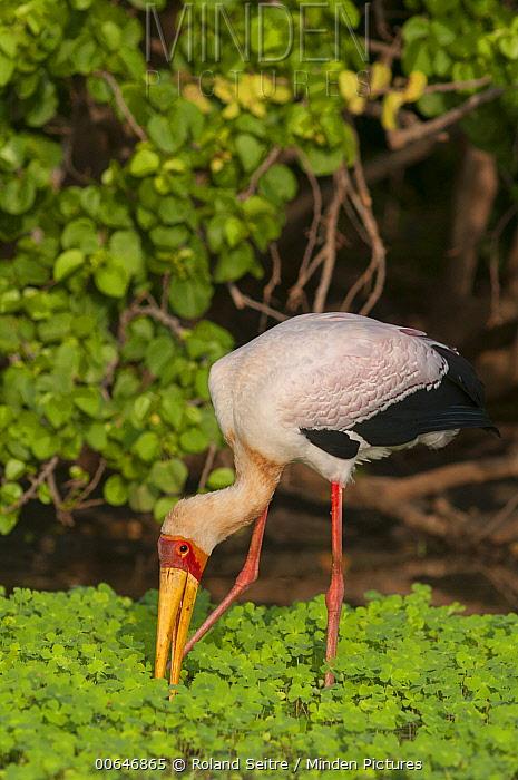 Yellow-billed Stork (Mycteria ibis) foraging, Kenya
