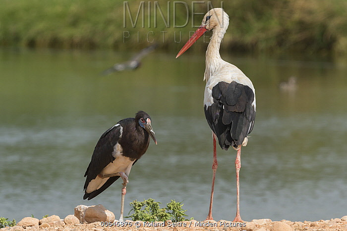 Abdim's Stork (Ciconia abdimii) and White Stork (Ciconia ciconia), Oman