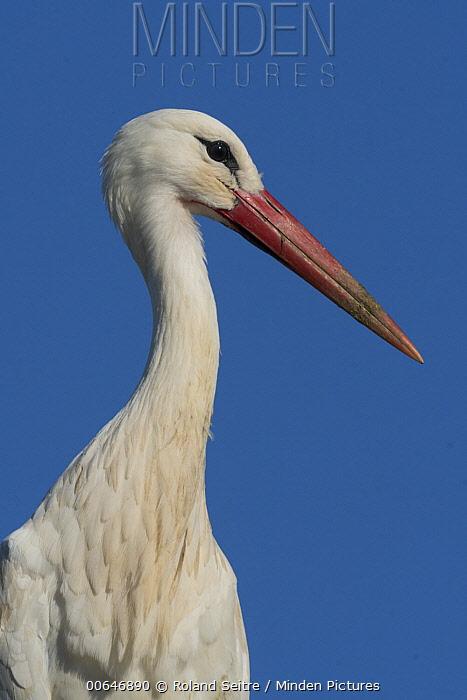 White Stork (Ciconia ciconia), Portugal