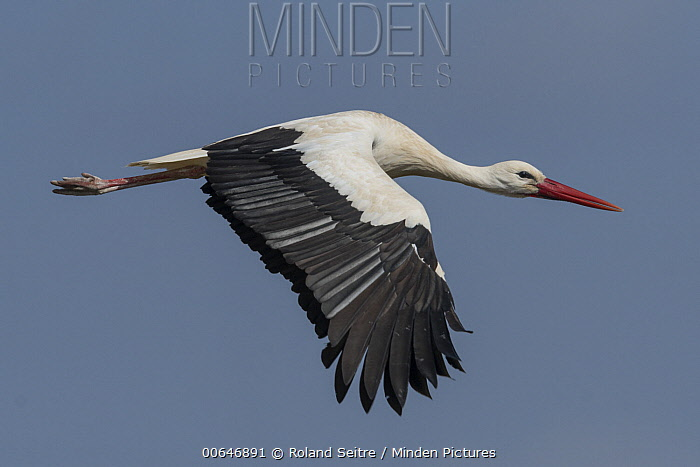 White Stork (Ciconia ciconia) flying, Spain