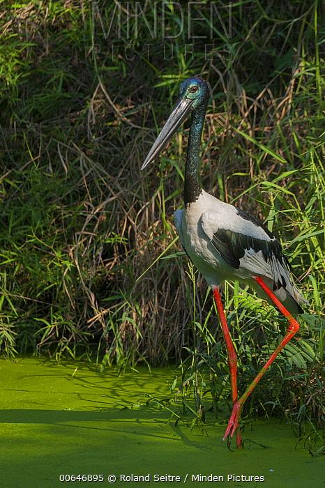 Black-necked Stork (Ephippiorhynchus asiaticus) wading, native to Cambodia
