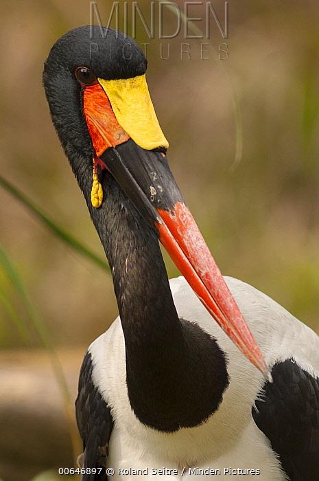 Saddle-billed Stork (Ephippiorhynchus senegalensis), native to Africa