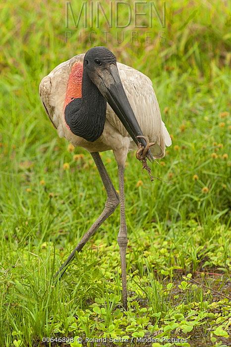 Jabiru Stork (Jabiru mycteria), Bolivia