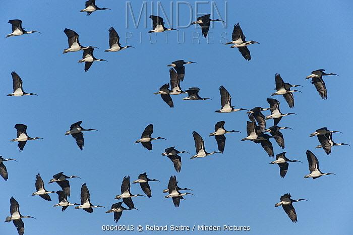 Straw-necked Ibis (Threskiornis spinicollis) flock flying, Queensland, Australia
