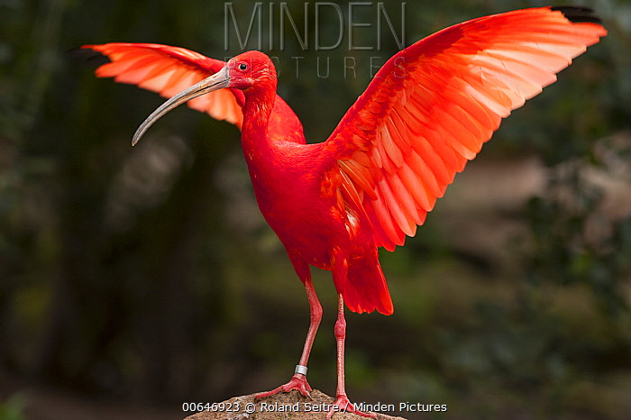 Scarlet Ibis (Eudocimus ruber) flapping, native to North and South America