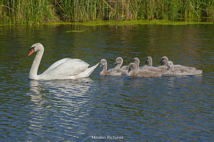 Mute Swan (Cygnus olor) parent with cygnets, France