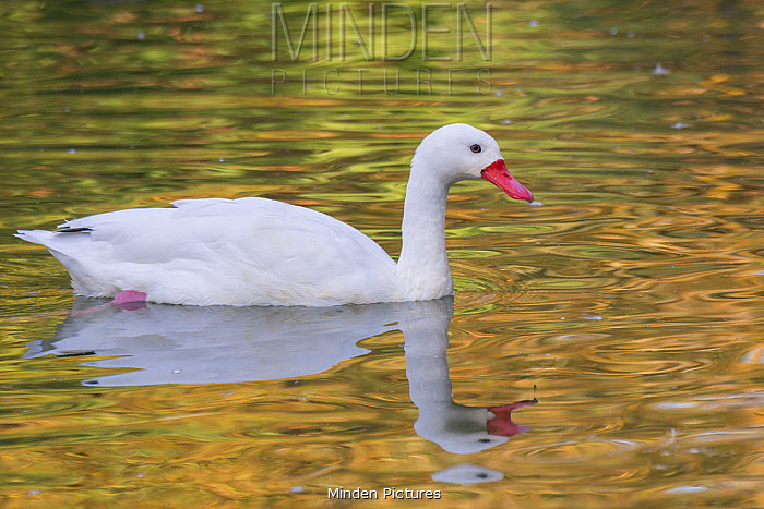 Coscoroba Swan (Coscoroba coscoroba), Germany