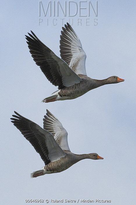 Greylag Goose (Anser anser) pair flying, France