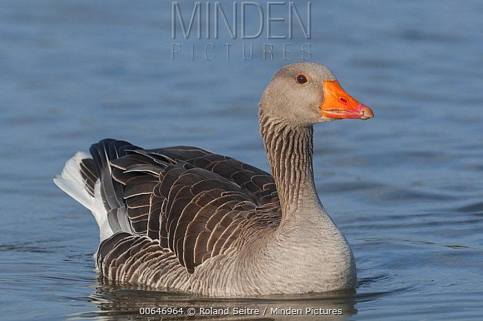 Greylag Goose (Anser anser), France