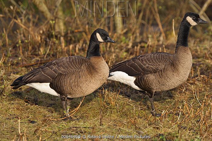 Cackling Goose (Branta hutchinsii) pair, native to North America