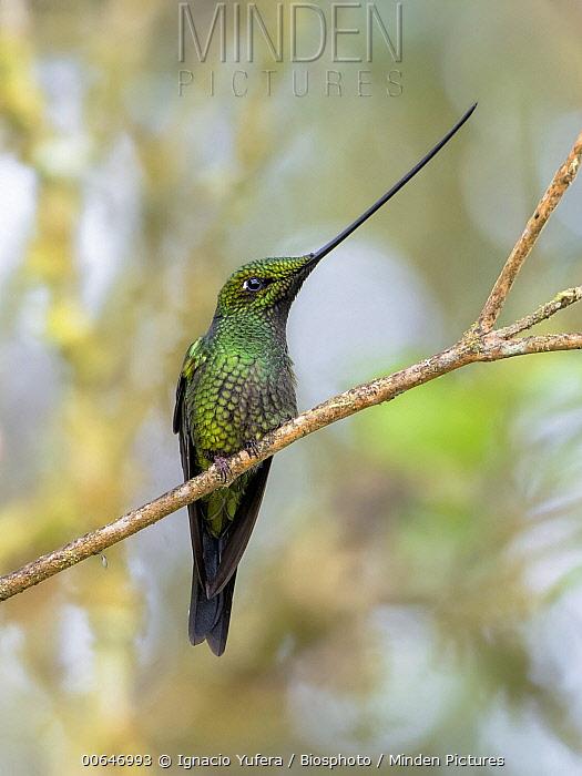 Sword-billed Hummingbird (Ensifera ensifera) male, Peru