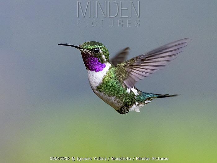 White-bellied Woodstar (Chaetocercus mulsant) hummingbird male flying, Peru