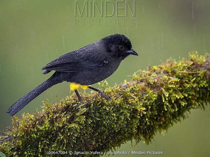 Yellow-thighed Finch (Pselliophorus tibialis) during rainfall, Cordillera de Talamanca, Costa Rica