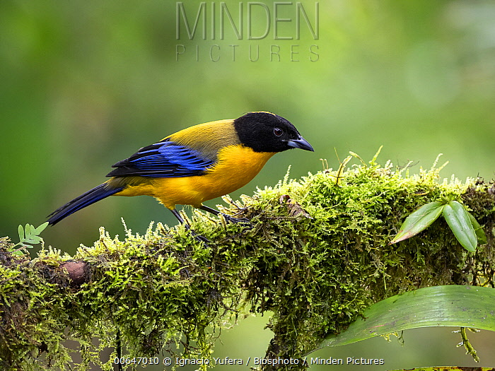 Black-chinned Mountain-Tanager (Anisognathus notabilis), Mindo, Ecuador