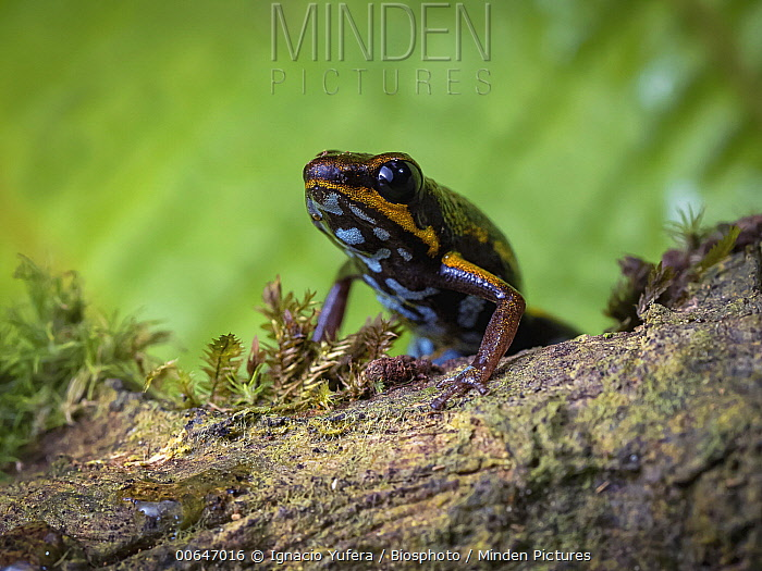 Blue-bellied Poison Frog (Andinobates minutus), Guna Yala, Panama