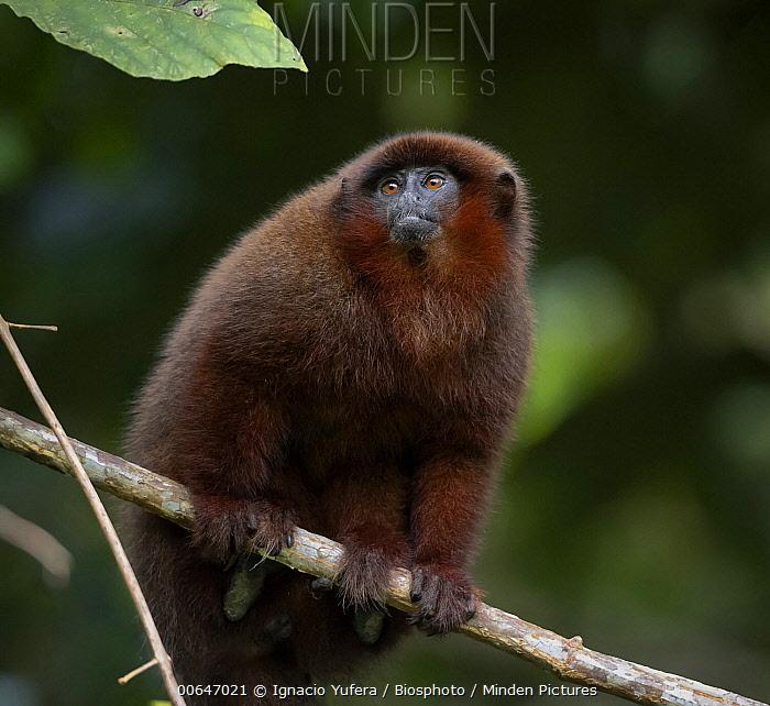 Brown Titi (Callicebus brunneus), Madre de Dios, Peru