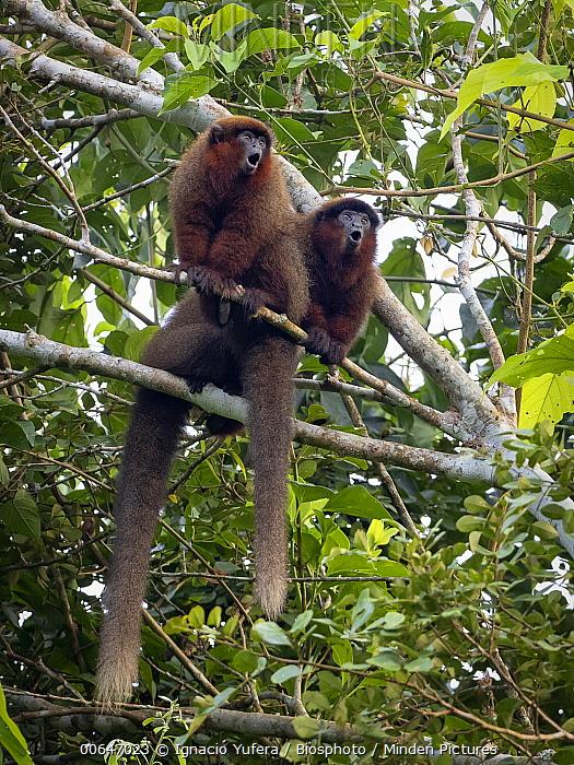 Brown Titi (Callicebus brunneus) pair calling, Madre de Dios, Peru