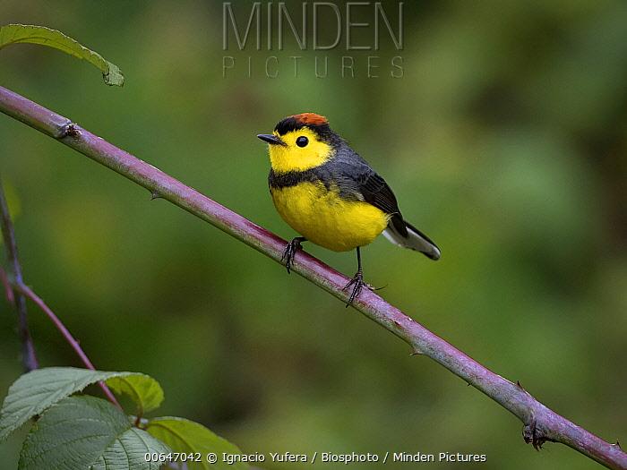 Collared Redstart (Myioborus torquatus), Chiriqui, Panama