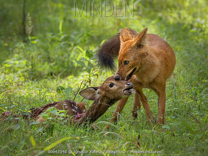 Dhole (Cuon alpinus) with Axis Deer (Axis axis) kill, Kabini Forest, Nagarhole National Park, India