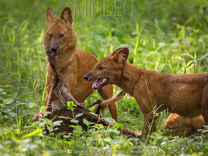 Dhole (Cuon alpinus) pair feeding on kill, Kabini Forest, India