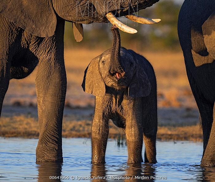 African Elephant (Loxodonta africana) calf touching mother's tusk, Hwange National Park, Zimbabwe